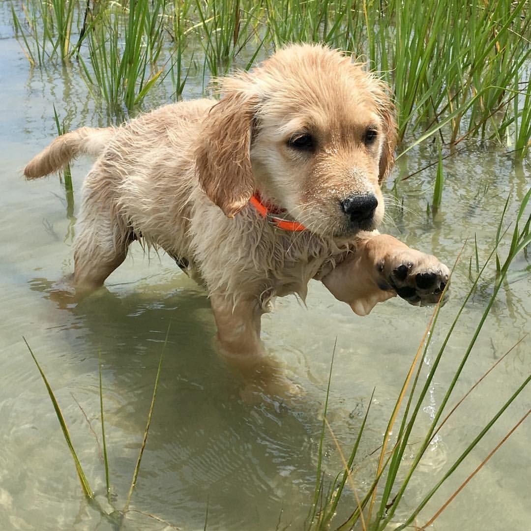 Best Golden Retriever Chubby Adorable Dog - 88d5e2f70bf4c0032a9b1dd8b2c134ab  2018_446331  .jpg