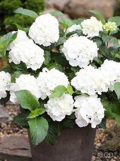 Hydrangea macrophylla 'Endless Summer ®' weiß / Garten-Hortensie 'Endless Summer' weiß