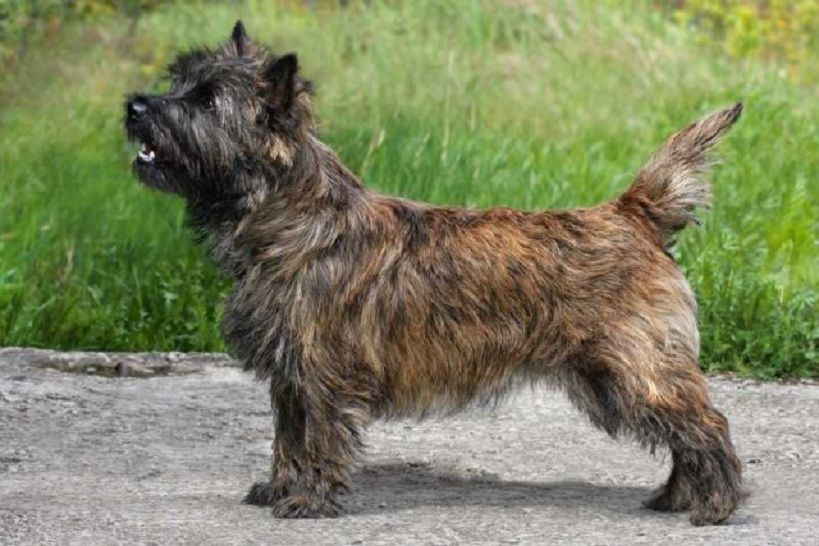 Cairn Terrier Price Colors Size Characteristic Appearance Health Puppies Rescue Cairn Terrier Terrier Cairn