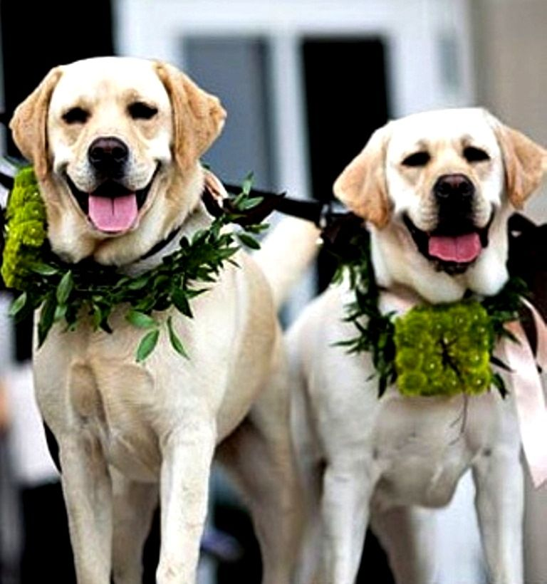 Yellow Labradors Wedding Dogs Toni Kami Flowers In Their Coats