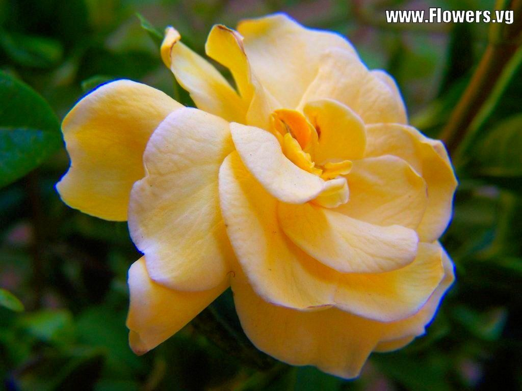 Yellow Gardenia Flower Beauty Flowers Rose