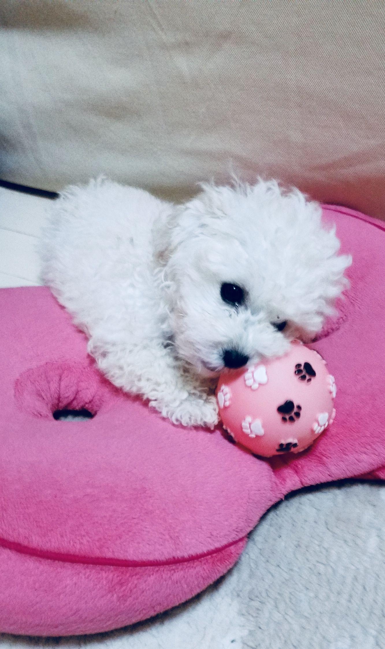 Looks like Petey when he was a puppy maltese Malteser
