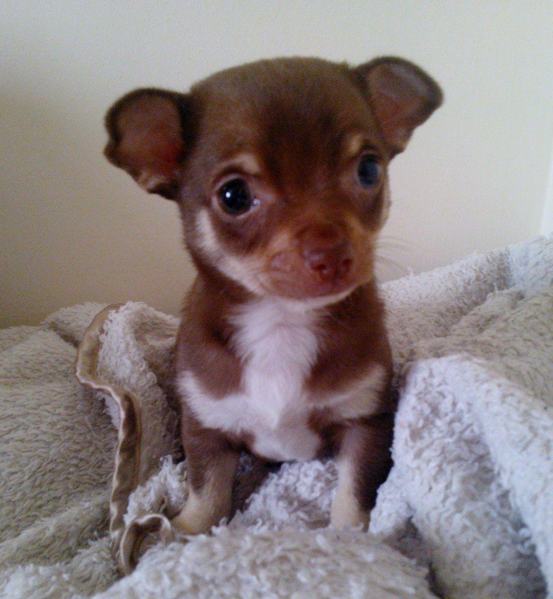 chocolate chihuahua puppies short