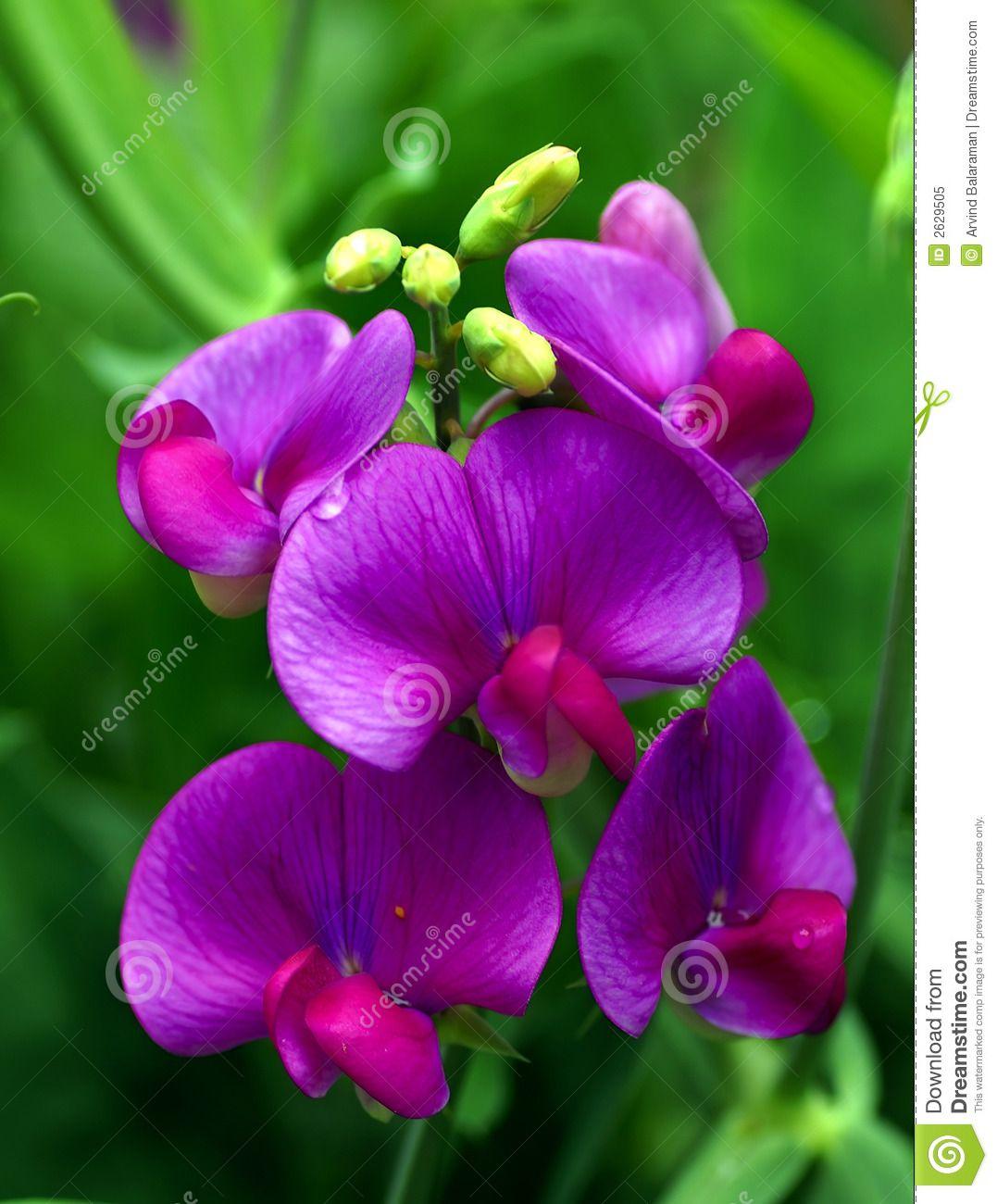 Sweet Pea Royalty Free Stock Image Flowers Pinterest