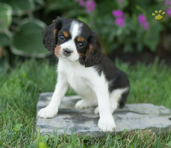 Bouquet Cavalier King Charles Spaniel Puppy For Sale In Watsontown Pa King Charles Cavalier Spaniel Puppy Spaniel Puppies For Sale Cavalier King Charles