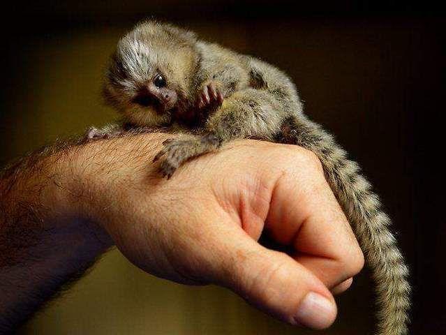 Finger Baby Marmoset Monkeys For Adoption Dubai Animals Pets Monkey Breeds Animals Pygmy Marmoset