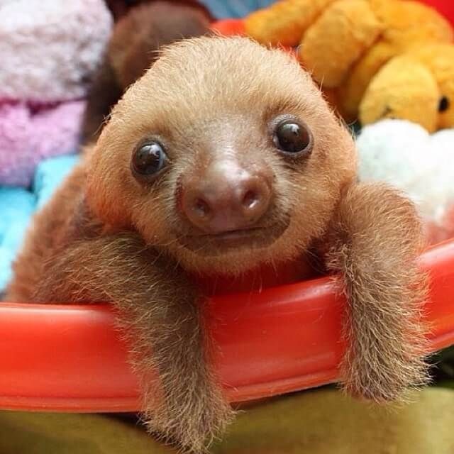 Baby Sloth Pictures – Because…Well… Baby Sloths! #babysloth