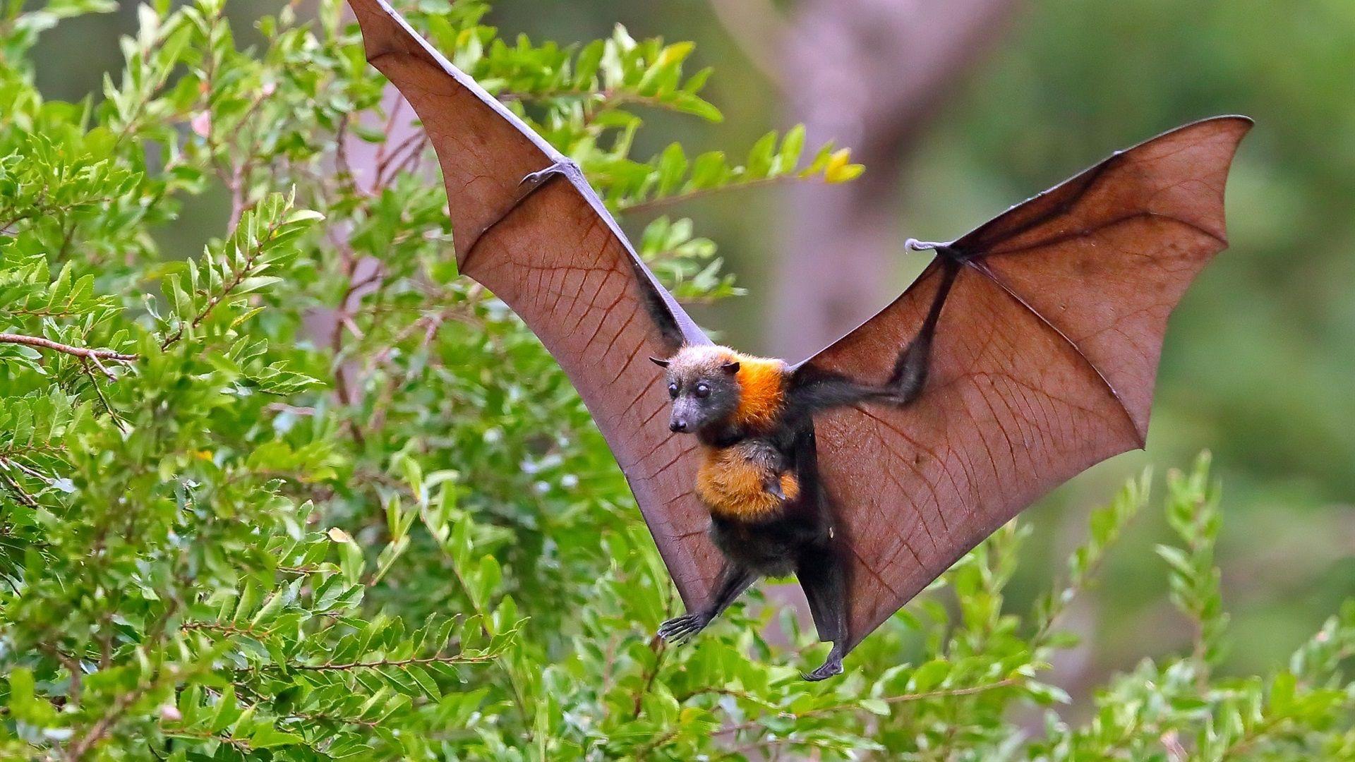 Animal おしゃれまとめの人気アイデア Pinterest Nebulo フルーツコウモリ 哺乳類 コウモリ