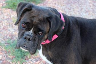 Pictures of Taylor a Boxer Mix for adoption in Colorado