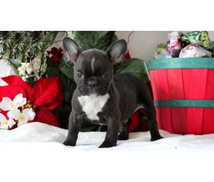 Jhgfdcr French Bulldog Puppies Is A French Bulldog For Sale In