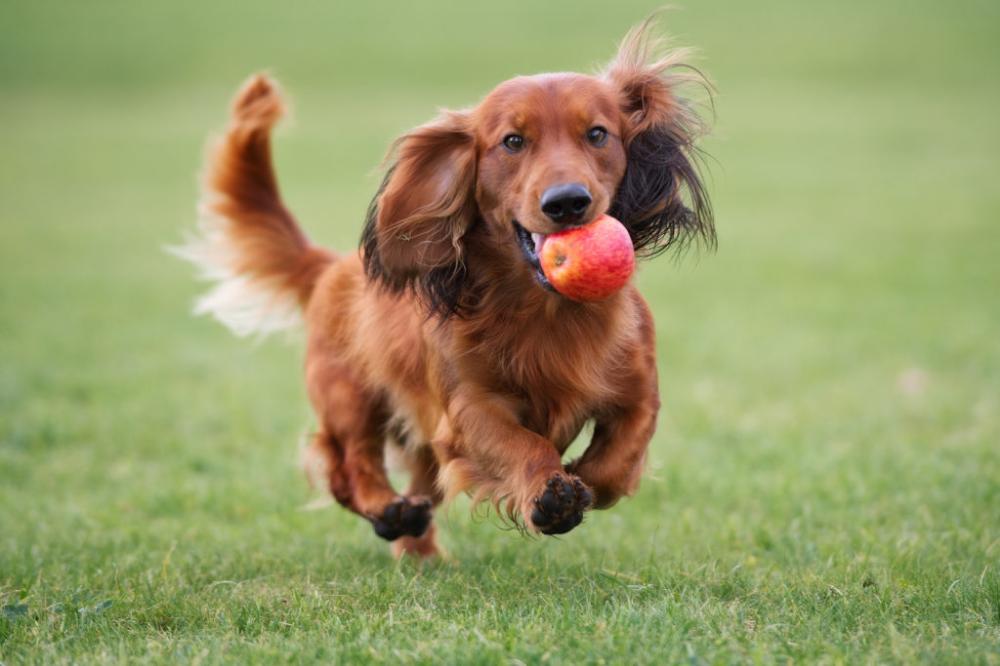 Mayrakoira In 2020 Golden Retriever Dogs Corgi