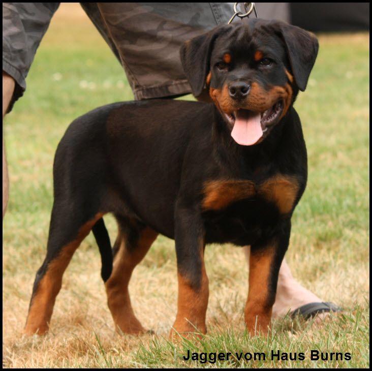 Rottweiler Puppy For Sale In Olympia Wa Adn 43744 On Puppyfinder