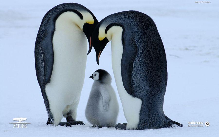 Cute Baby Penguins Hd Wallpapers Baby Penguin Wallpaper Penguin