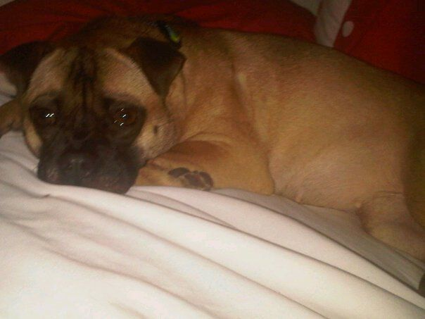 This Is My Pug A Bull Pug And Bull Terrier Mix Yes Pug And Pit