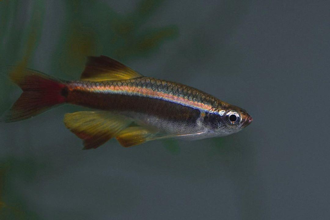 White Cloud Mountain Minnow Fish In 2020 Fish Pet Freshwater Fish Fish