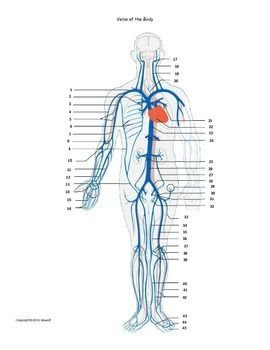 Veins Of The Body Assessment Or Worksheet Arteries Anatomy