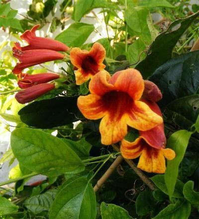 Bignonia capreolata E