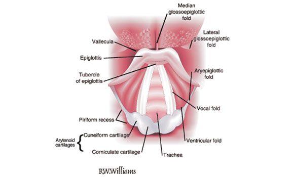 Airway Anatomy Webinars Videos Research Education Simulation