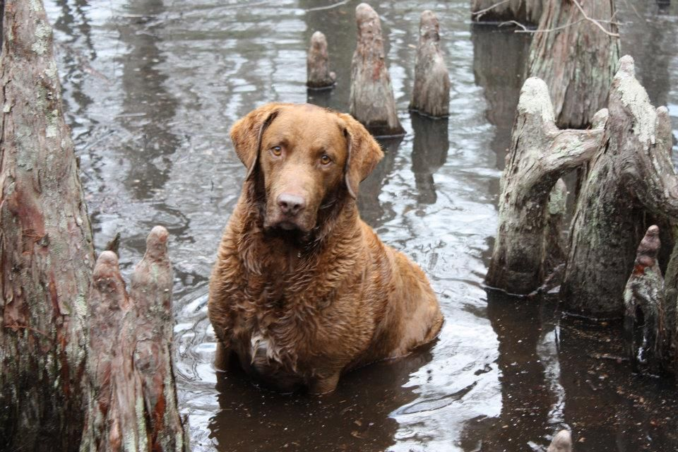 Chesapeake Bay Retriever Dog Art Portraits Photographs Information And Just Plain Fun Also See H Retriever Dog Chesapeake Bay Retriever Chesapeake Retriever