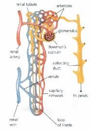 Kidney nephron diagram | Biology diagrams | Pinterest
