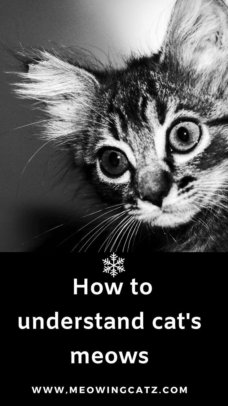 How To Understand Your Cat's Meow? (With images) Cat