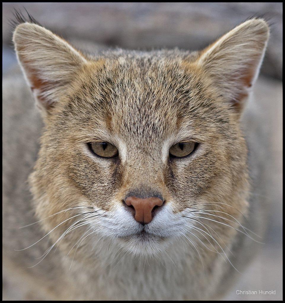 Зоологический форум / Камышовый кот, или хаус in 2020