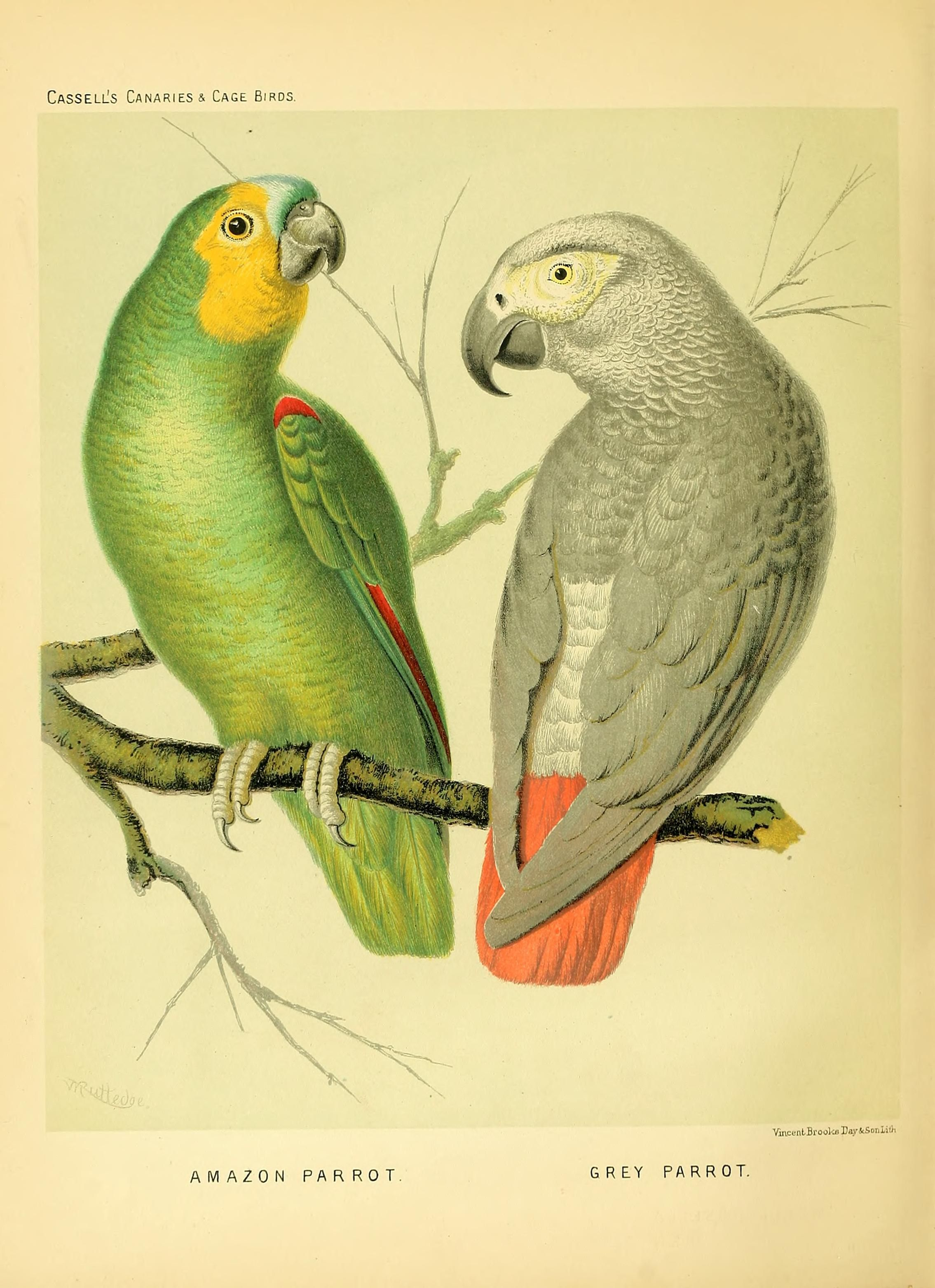 The Illustrated Book Of Canaries And Cage Birds British