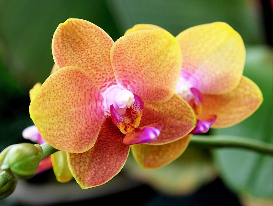 Pink Yellow Orchid By Rona Black Yellow Orchid Beautiful Flowers Photography Orchid Show