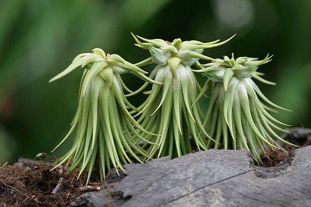 Does anyone else see a trio of angels here? #Tillandsia ionantha v.stricta - bromeliaceae