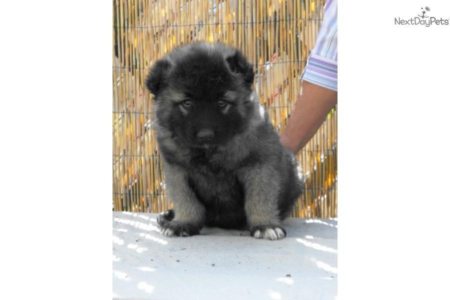 Caucasian mountain dog for sale caucasian mountain dog