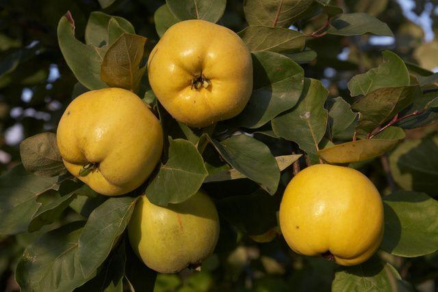 Cydonia oblonga Membrillero Seeds 40 semillas
