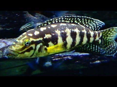Julidochromis marlieri - Poll, 1956 - cichlidé damier - Aquarium Porte D...