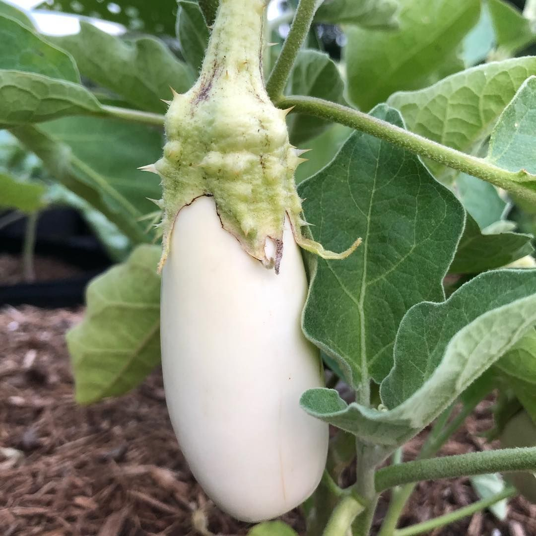 I didn't even know that white eggplant existed until I stumbled upon the seeds at Baker Seeds. What a beautiful veggie in the garden! 🍆 Have any of you ever cooked with white eggplant? 🍆 They are supposed to be creamier than the purple varieties. Looking forward to trying this new veggie in my garden. 😋 . . . . .