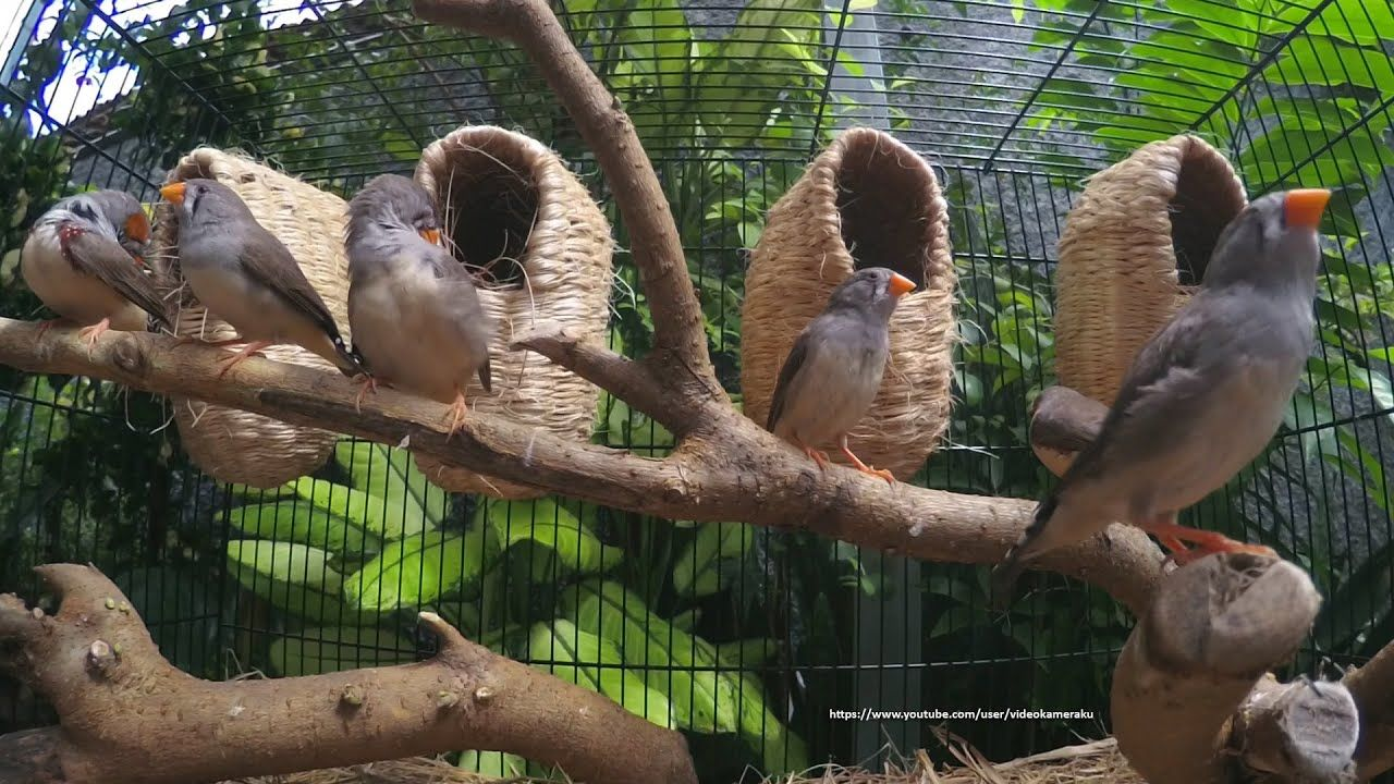 Timor Zebra Finch's Singing and Sounds - Male & Female ...