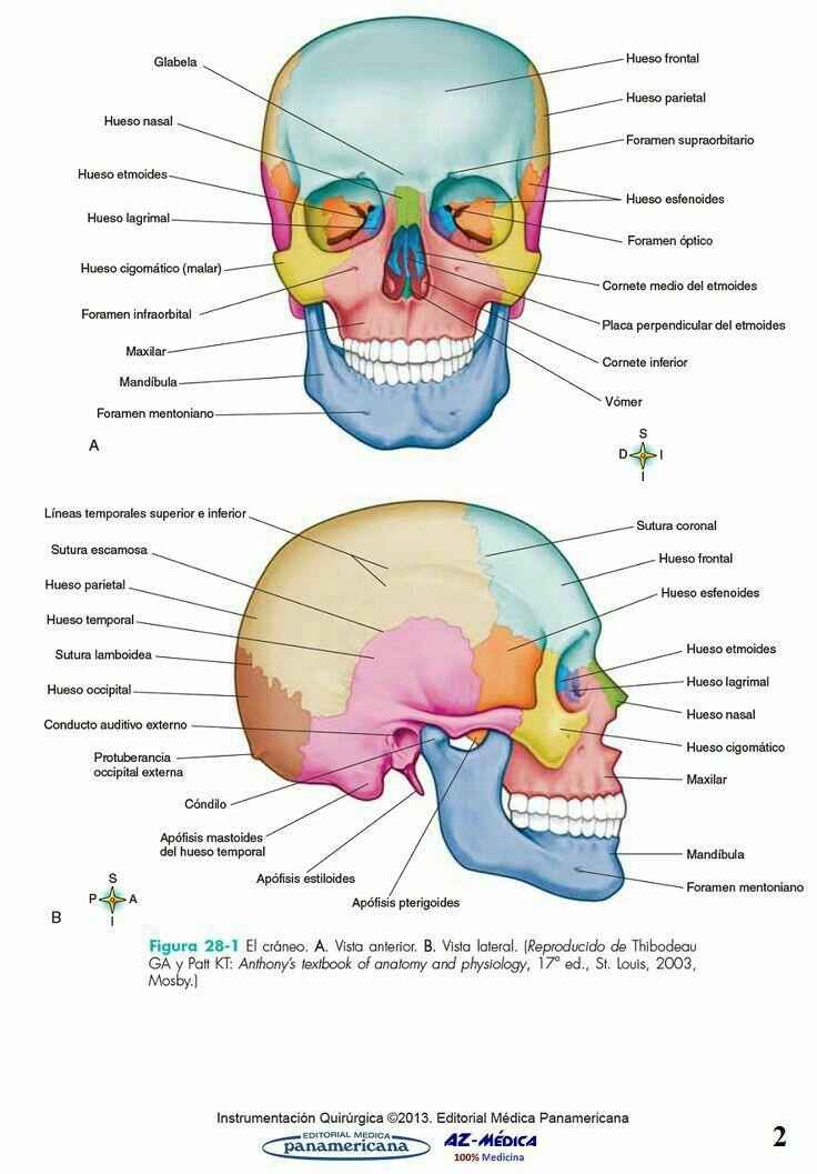 Huesos | Cosas | Pinterest | Huesos, Anatomía y Medicina