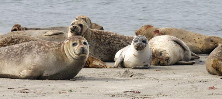 Seehunde auf Sylt...