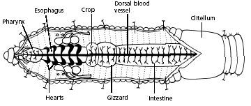 Earthworm Dissection Worm Farming Vermiculture Pinterest
