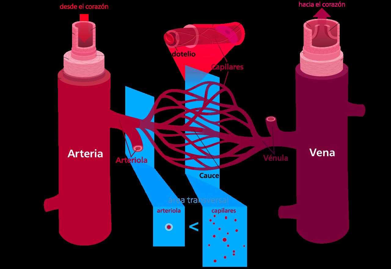 Diferencias entre arterias y venas | Ciencia | Pinterest ...