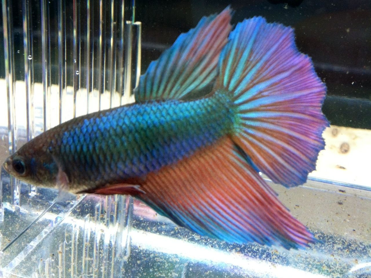 Alpha Pro Breeders Betta Female Full Moon Betta Betta Fish Tropical Fish