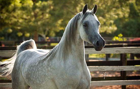 Ghazala Al Shahania Marwan Al Shaqab X Majalina By Besson Carol 2012 Grey Mare Bred By Al Shahania Stud Qatar Beautiful Arabian Horses Horses Horse Breeds