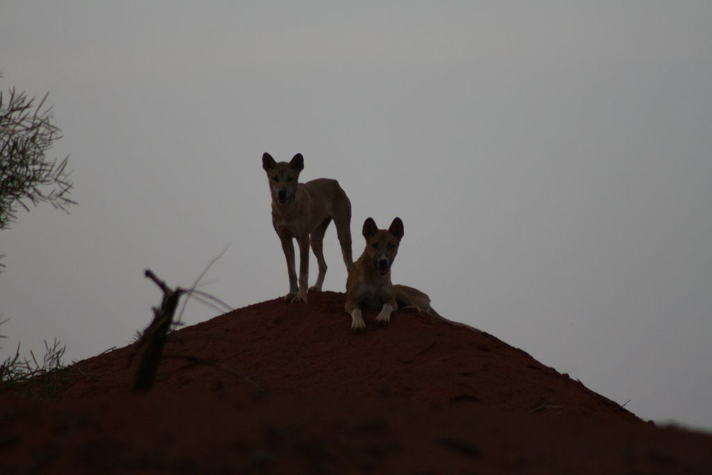 Dingos (Australian wild dogs) Wild dogs, Animals, Dogs