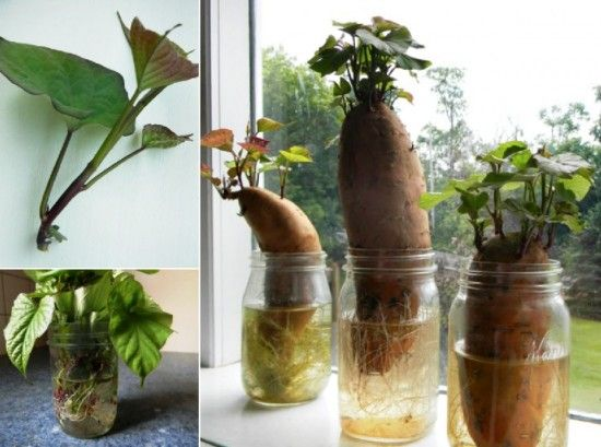 how to grow sweet potatoes from cuttings