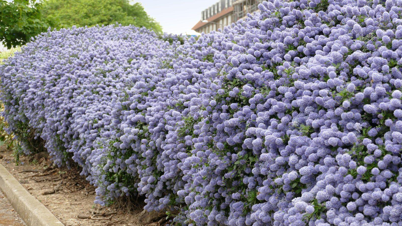 Pflanzen Als Sichtschutz Fur Garten Balkon Plantura 2020