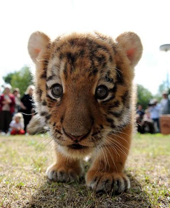 """Google Facts: Baby tigers were ranked among the top 10 cutest animals in the world. AnimalPictureOf"
