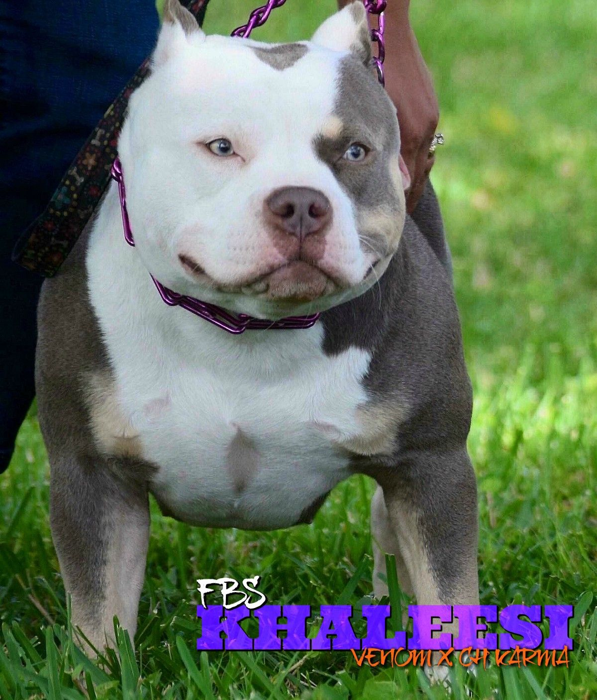 Top Pocket Bully Breedings Pocket Bully Puppies For Sale Bullying