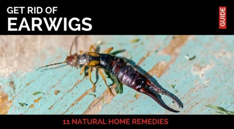 Phenomenal 11 Natural Home Remedies To Get Rid Of Earwigs Natural Download Free Architecture Designs Rallybritishbridgeorg