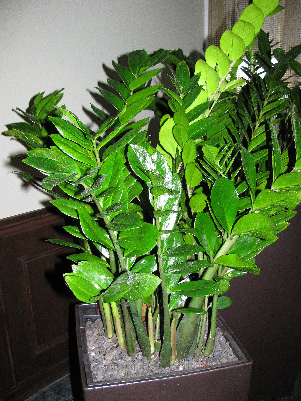 Zz Plant Zamioculcas Zamiifolia Article Plants Houseplants