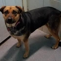 Mission, Kansas - Rottweiler. Meet Mavi 'Zoey', a for adoption. https://www.adoptapet.com/pet/20423357-mission-kansas-rottweiler-mix