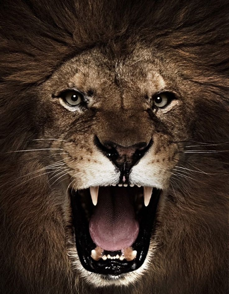 Image Result For Lion Roaring Front View Lion Pictures Lion