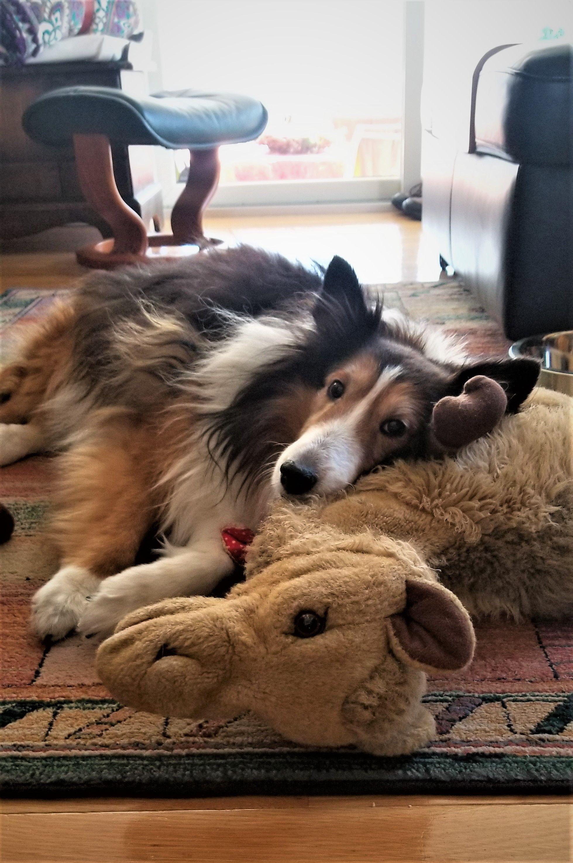 Adopt Jubilee On Petfinder Sheep Dog Puppy Shetland Sheepdog Shetland Sheepdog Puppies